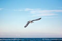 海鸥在飞行中反对自然蓝天背景 免版税库存图片