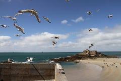 海鸥在飞行中在圣Malo堡垒 图库摄影
