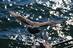 海鸥在飞行中在有太阳反射的太平洋 图库摄影