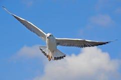 海鸥在飞行中在蓝天背景  库存图片