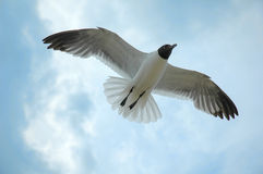 海鸥在飞行中在蓝天 免版税库存照片