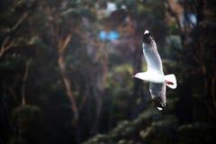 海鸥在飞行中黑暗的BG 库存图片