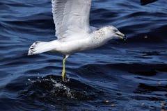 海鸥在水中飞溅 免版税库存图片