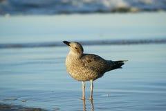 海鸥在水中 免版税图库摄影
