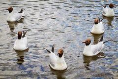 海鸥在水中 免版税库存照片