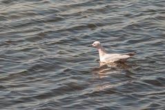 海鸥在3月Menor在穆尔西亚 免版税库存图片