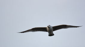 海鸥在Donostia 库存图片