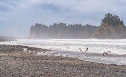 海鸥场面在海滩的与岩石背景的堆海岛在Realto海滩,华盛顿,美国的早晨 图库摄影