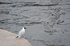 海鸥坐一块大理石石头 免版税库存照片