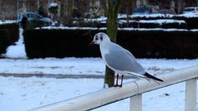 海鸥坐一座积雪的桥梁在冬天 库存照片