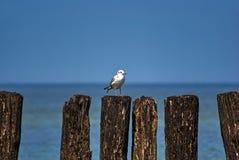 海鸥坐在波罗的海的老木防堤 图库摄影