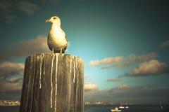 海鸥坐在海岸的一个木岗位在日落 库存照片