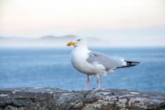 海鸥坐墙壁 免版税库存图片