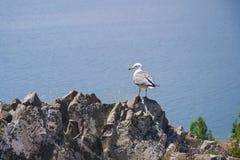 海鸥坐岩石在山边缘 最大的来源的看法在整个高加索-塞凡湖 格加尔库尼克省 免版税库存图片