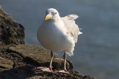 海鸥坐岩石墙壁 免版税库存照片