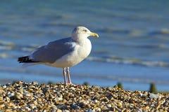 海鸥坐海滩在Worthing,英国 免版税库存照片