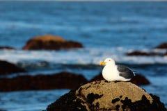 海鸥坐海滩岩石由海洋在日出 库存图片