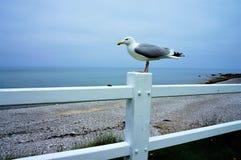 海鸥坐白色篱芭在海滩在诺曼底法国 免版税图库摄影