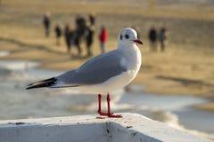海鸥坐码头 免版税库存照片
