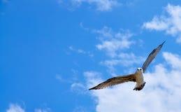 海鸥天空 免版税图库摄影