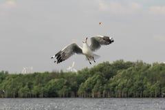 海鸥打算鸟的飞行由thr吃从人哺养的食物 库存图片