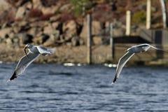 海鸥捕鱼 库存照片