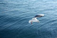 海鸥接近的飞行 库存图片
