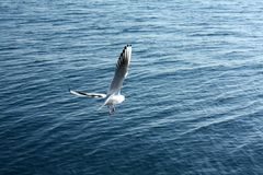 海鸥接近的飞行 免版税图库摄影