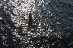 海鸥接近的飞行 库存照片
