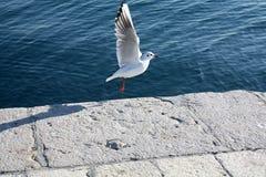 海鸥接近的飞行 免版税库存图片