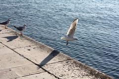 海鸥接近的飞行 图库摄影