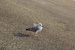 海鸥接近 库存照片