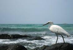 海鸥搜寻食物 库存照片