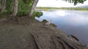海鸥支持的池塘岸 股票录像
