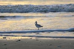 海鸥日出 库存图片