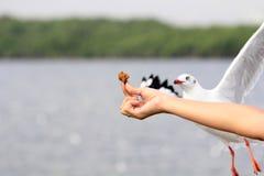海鸥来鸟的飞行吃从妇女哺养的食物 免版税库存图片