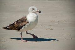 海鸥查寻在大西洋海岸的食物 免版税库存照片