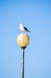 海鸥栖息灯被设置反对明亮的蓝天 免版税库存照片