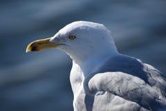 海鸥波士顿城堡海岛southe 免版税库存图片
