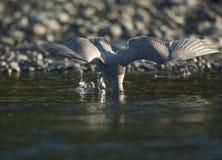 海鸥渔 库存图片