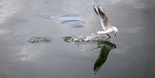 海鸥渔 免版税库存图片