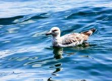 海鸥游泳在马尔马拉海 免版税库存照片