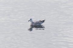 海鸥游泳在水中 库存照片