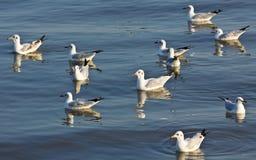 海鸥游泳 库存照片