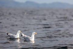 海鸥游泳 免版税库存照片