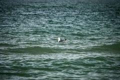 海鸥漂浮 库存照片