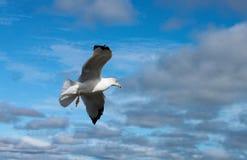 海鸥特写镜头在飞行中反对风雨如磐的多云天空 库存照片