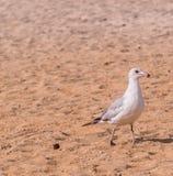 海鸥的特写镜头 免版税库存照片
