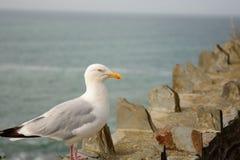 海鸥的纵向 库存照片