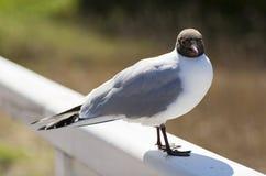 海鸥的纵向 免版税库存照片